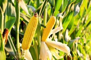 RBDW corn oil<br/>Crude degummed corn oil
